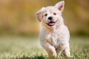 Lee más sobre el artículo Las 5 mejores razas de perros para tener en casa